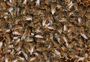 Air pollution could kill 80% Asian honey bees, India study finds