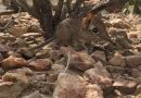 Elephant shrew found in Africa, after it was lost for over 50 years