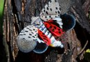 The Dreaded Lanternfly, Scourge of Agriculture, Spreads in New Jersey