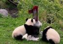 Panda twins at Berlin Zoo turn one