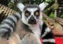 Maki is missing: Police search for 'highly endangered' ring-tailed lemur stolen from San Francisco Zoo