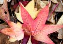 Raking leaves this fall? Stop now, keep leaves on lawn, mulch them