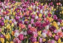 Are There More Tulips Than Usual This Year?